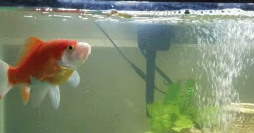 goldfish GIFs