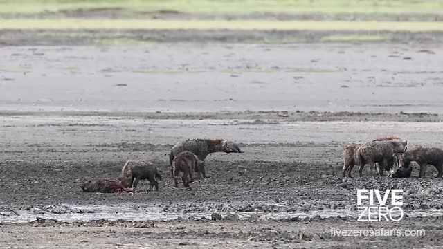 Watch and share Hyena Attempts To Fight Back While Getting Eaten Alive By A Conspecific GIFs by Pardusco on Gfycat