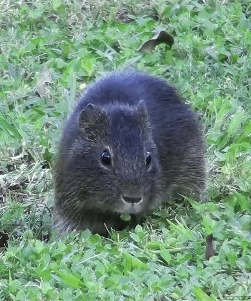 Watch and share Vole GIFs on Gfycat