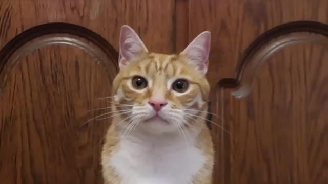 Watch Reggie Hasn't Been Well GIF on Gfycat. Discover more Cat Bridge, Cat Cone, Golden Gate Bridge Cat, Golden Gate Cat Bridge, Half Asleep Chris, Half Asleep Chris Cat, Reggie, Reggie Update, Sir Reginald Burton III GIFs on Gfycat