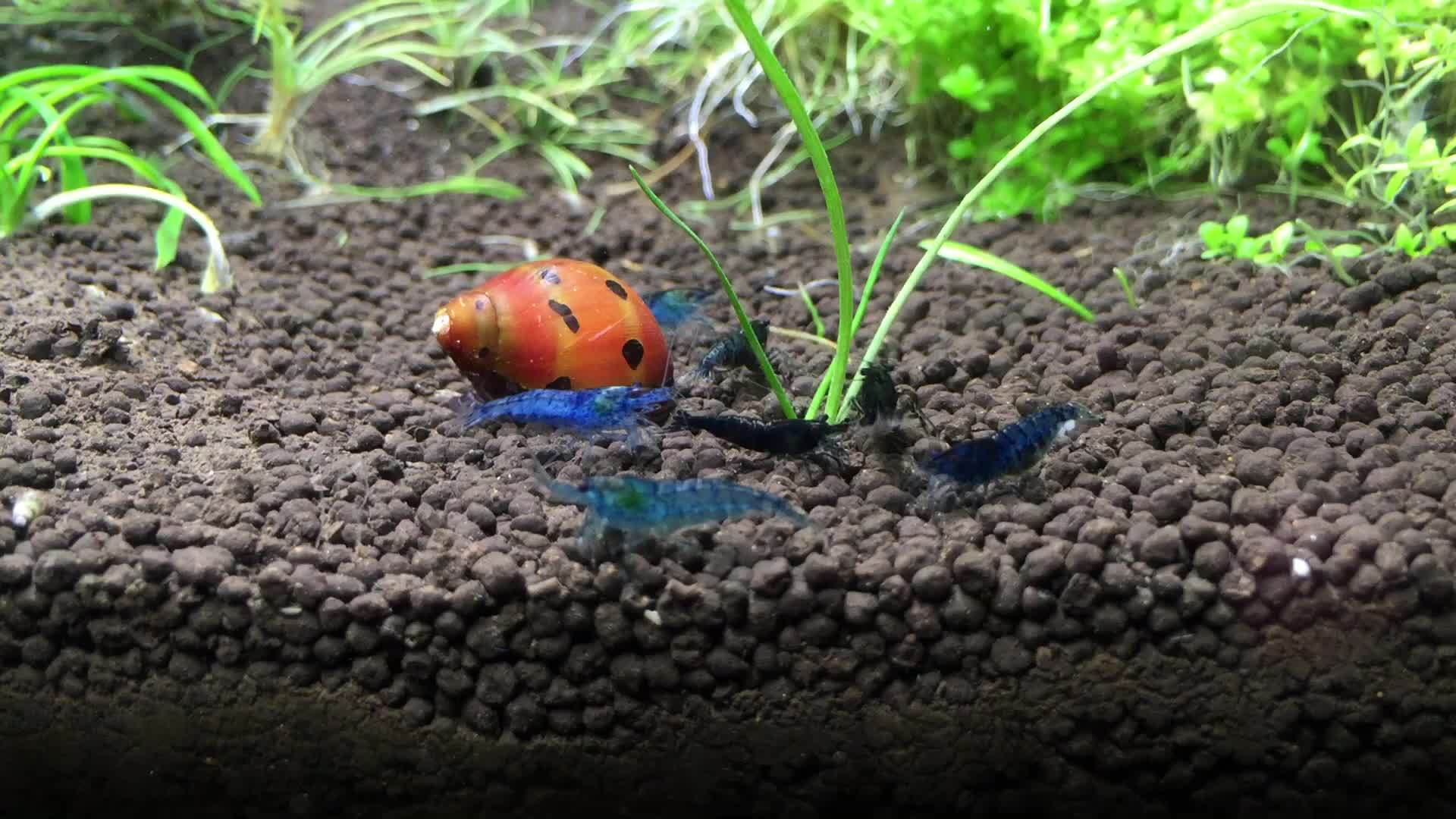 berried, shrimp, shrimptank, Berried Blue Dream Shrimp GIFs