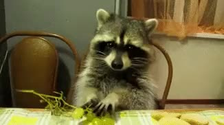 Watch this raccoon GIF on Gfycat. Discover more animal, animals, raccoon, racoon GIFs on Gfycat
