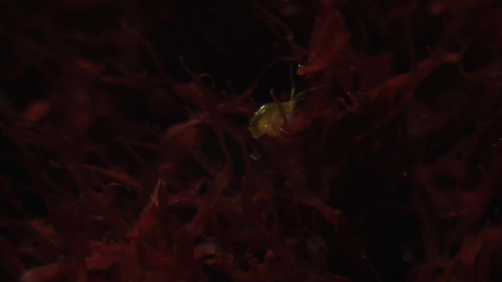 ReefTank, reeftank, Copepods in the Refugium GIFs