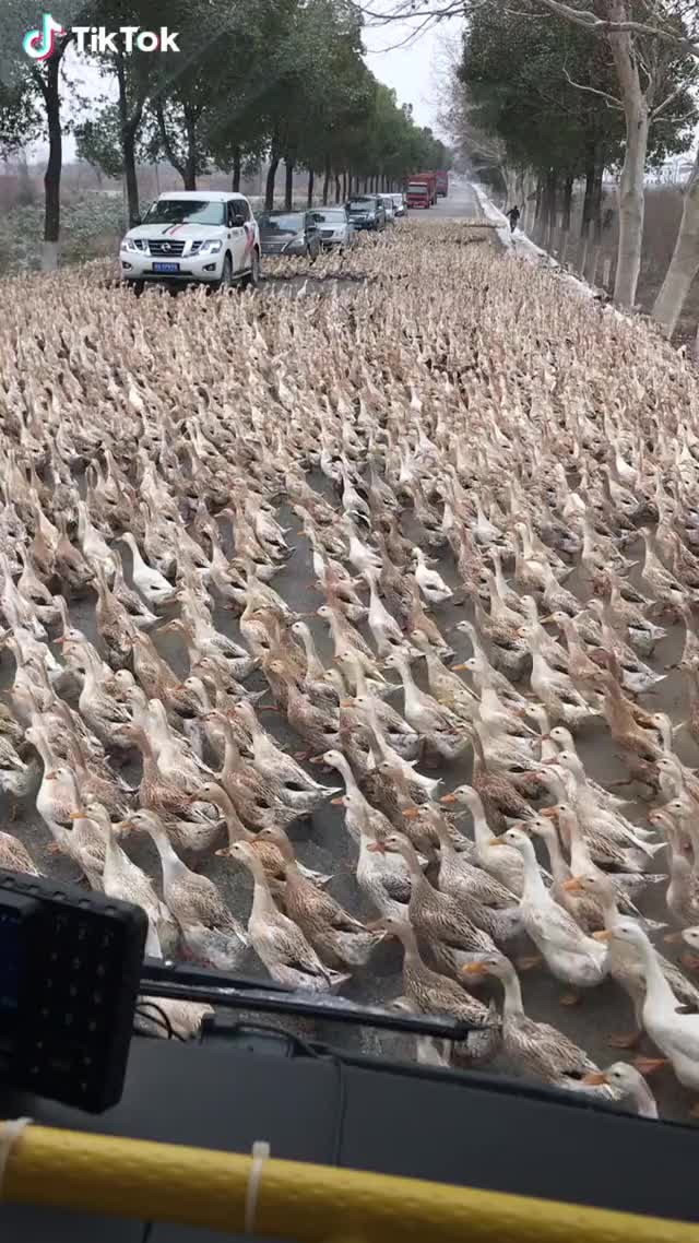 Watch and share Ducks Army Are Crossing The Road! GIFs by TikTok on Gfycat