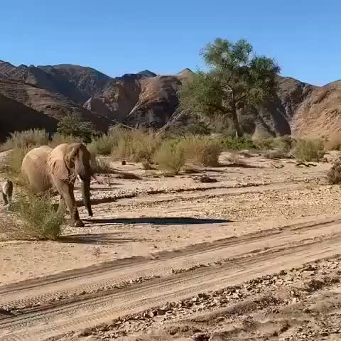 Watch this elephants GIF by vani  (@uncommonvanilla) on Gfycat. Discover more elephant, elephant love you, elephants, hoanibskeletoncoastcamp, namibia, repost, skeletoncoast, wearewilderness, wildernesssafaris GIFs on Gfycat
