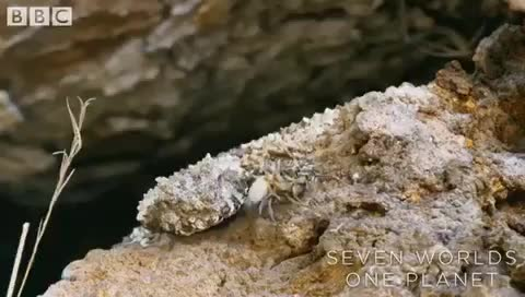 Watch and share Look Closely... That Is Not A Spider. The Spider-tailed Horned Viper Uses The Tip Of Its Tail To Lure Birds. GIFs by saleh on Gfycat