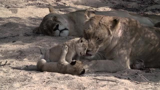Watch and share Lion Cubs GIFs by Londolozi Game Reserve on Gfycat