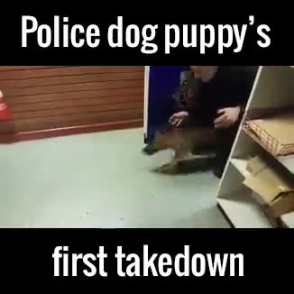 gifs, hitmanimals, Police dogs first take down (reddit) GIFs