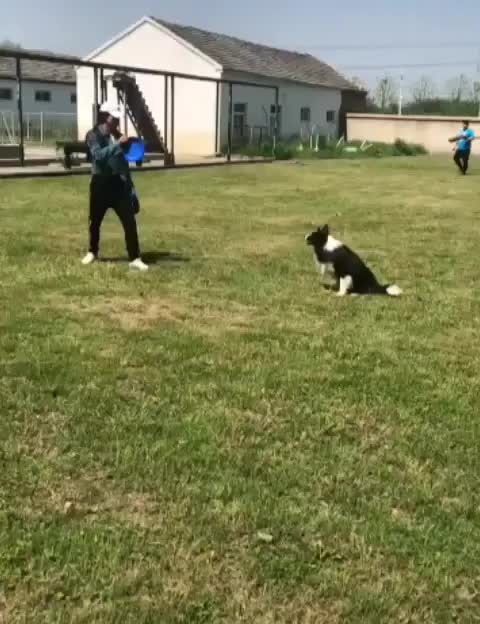 Frisbee training with a border collie GIFs