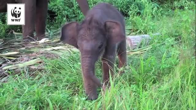 Watch Bébé éléphant de Sumatra GIF on Gfycat. Discover more babyelephantgifs GIFs on Gfycat