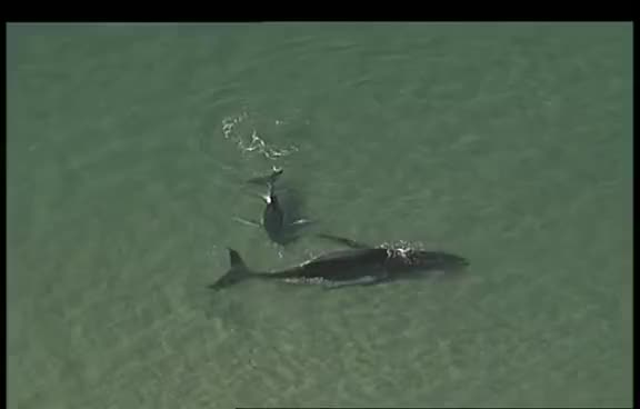 Watch and share Beached Whale And Calf GIFs on Gfycat