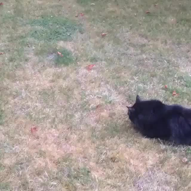 Watch and share Ball Vs. Forgot How To Cat, Cat GIFs on Gfycat