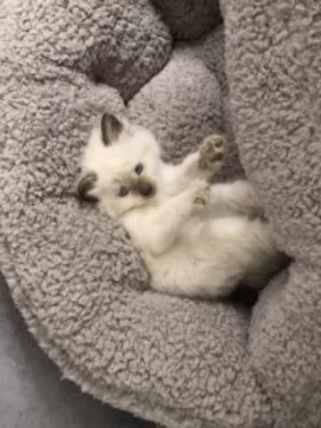 Watch and share Badkitty GIFs and Kitten GIFs by iiithewizardiii on Gfycat