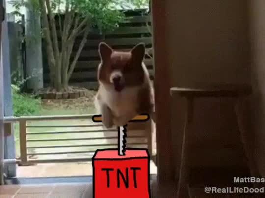 dog, funny, Corgi Dog TNT GIFs