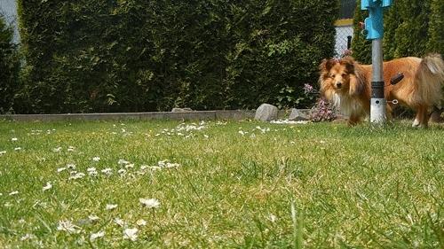 Kyle, Sheltie, Shetlandsheepdog, animal, boy, cute, dog, funny, garden, gif, gifs, pets, playing, puppy, sable, summer, tricks, kyleandkody:Playing w/ Kyle GIFs
