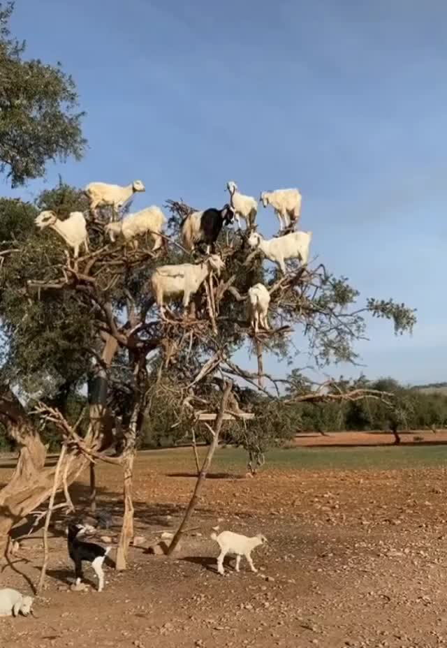 Watch and share Goat GIFs by abbaddon27 on Gfycat
