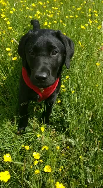 Watch and share VID-20190203-WA0007 GIFs by blacklabsmatter on Gfycat