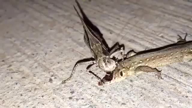 Watch and share Grasshopper Munching A Lizard's Face Off. GIFs by PrviAxiom on Gfycat