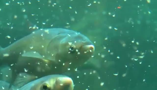 Watch and share Asian Carp GIFs on Gfycat