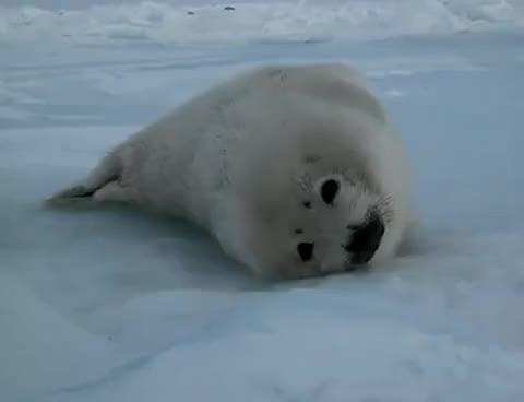 Watch and share Harp Seal (sleeping Baby) 3 GIFs on Gfycat
