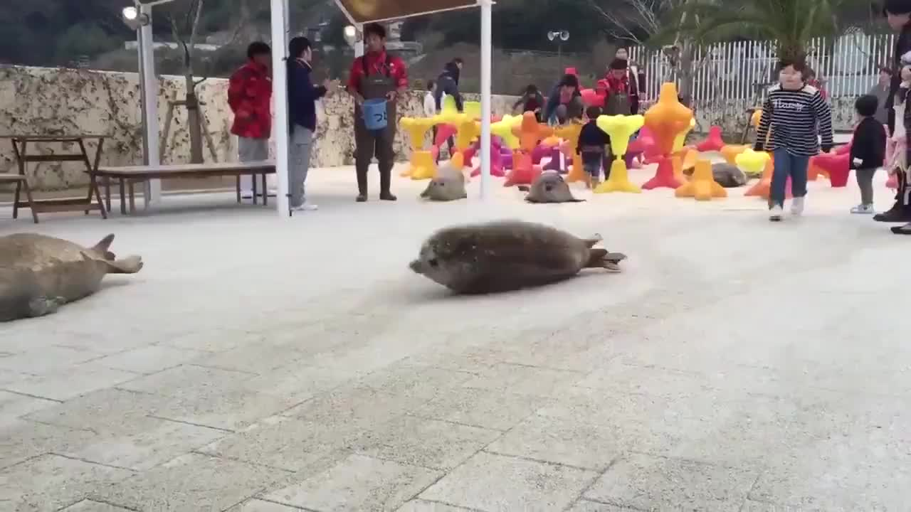 How seals move on land GIFs