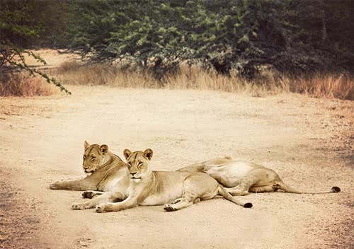 Watch and share 1. Female African Lions GIFs on Gfycat