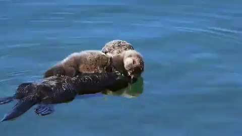 Watch this otter GIF by tothetenthpower (@tothetenthpower) on Gfycat. Discover more otter GIFs on Gfycat