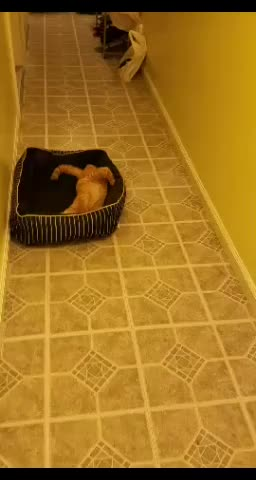 Watch and share The New Cat Likes My Dog's Bed GIFs on Gfycat