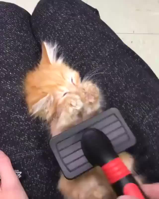 Watch and share Hilarious GIFs and Kitten GIFs by JustViral.Net on Gfycat
