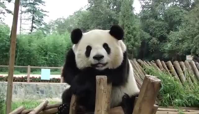 Watch this panda GIF on Gfycat. Discover more animals, bear, bears, cute, haha, panda, panda bear GIFs on Gfycat