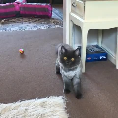 aww, cat, cats, cute, fetch, kitty, This sweet kitty loves to play fetch GIFs