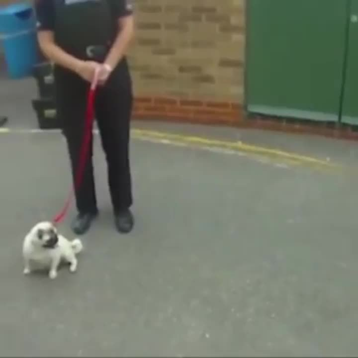 reversegif, A pug is reunited with its owner after being stolen in a burglary GIFs