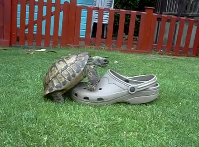 Watch Tortoise having sex with a shoe, squeaking. GIF on Gfycat. Discover more croc, shoes, tortoise GIFs on Gfycat