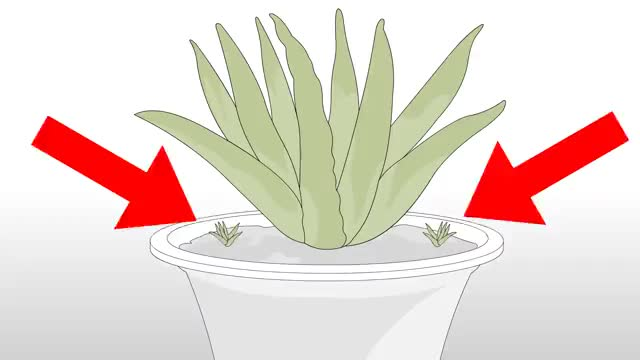 Watch and share Grow An Aloe Plant With Just An Aloe Leaf Step 9.360p GIFs on Gfycat