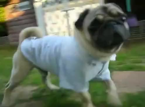 Watch and share Pug GIFs on Gfycat