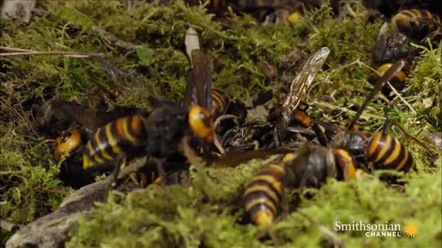 natureismetal, Japnese Giant Hornet Gets Head Bitten Off GIFs