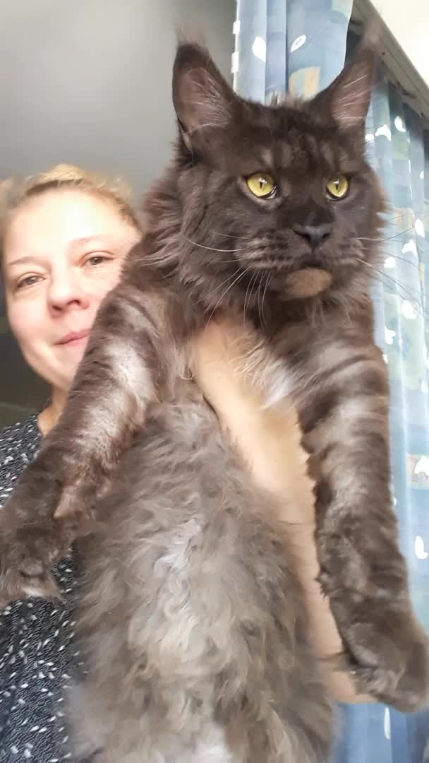 Maine Coon, Big cat Maine Coon GIFs