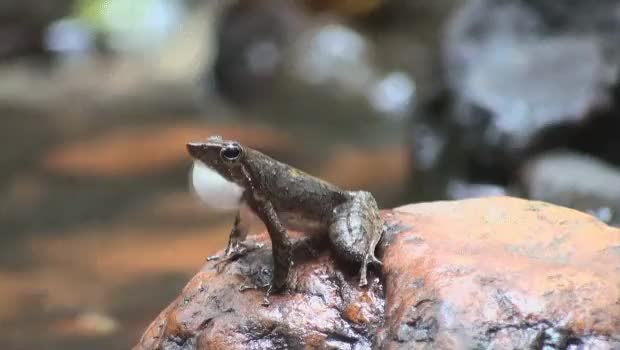 Watch and share Indian Dancing Frogs (Micrixalus) Wave Their Legs To Attract Females In Mating Ritual (behavior Evolved Probably Because Females Can't Hear Traditional Mating Calls Over The Loud Mountain Water Streams) (reddit) GIFs by kuwetka on Gfycat