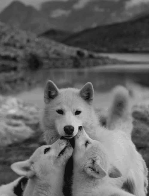 Watch White Wolf GIF on Gfycat. Discover more related GIFs on Gfycat
