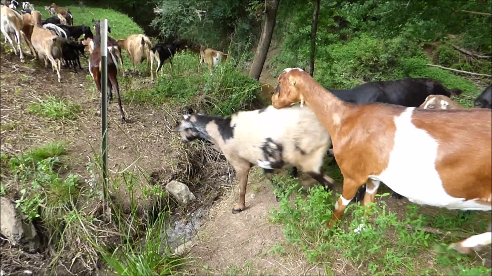 goat parkour, goatparkour, goats, knsfarm, Tame Group Parkour GIFs