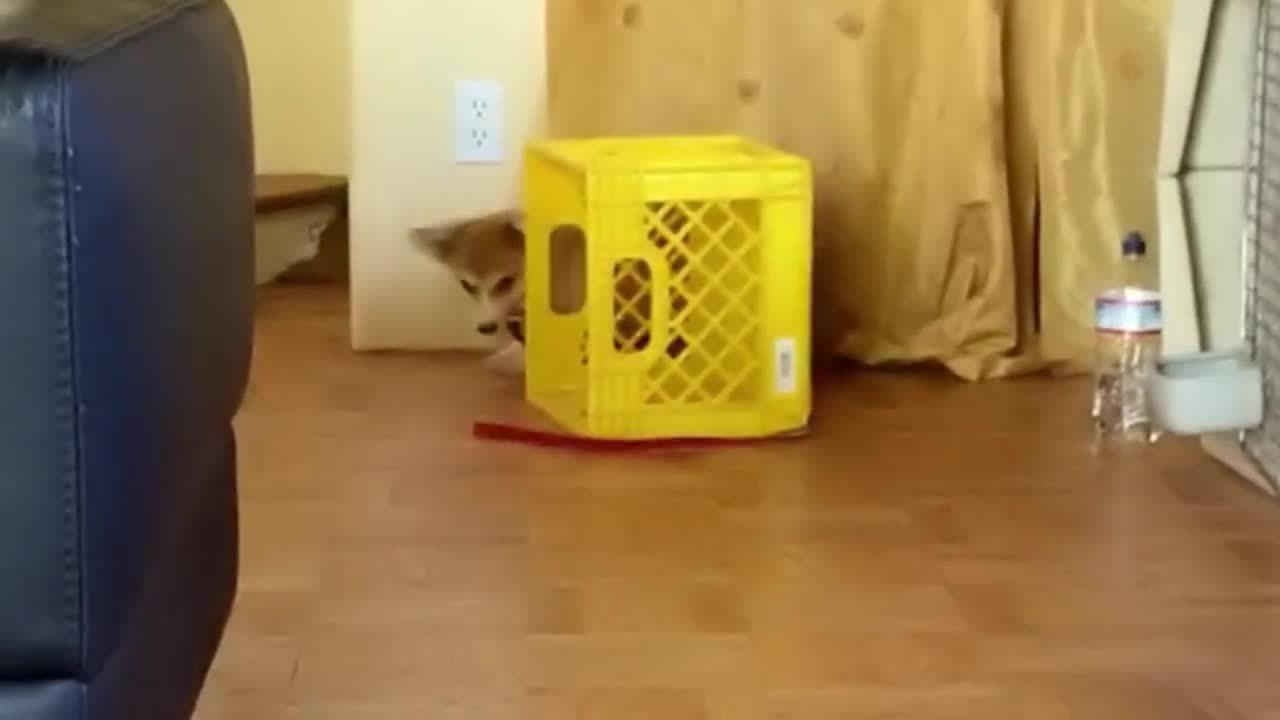 animalsbeingderps, one box + one leash + one puppy (reddit) GIFs