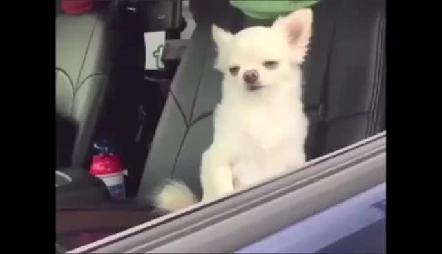 Car, chihuauas, sleep, Sleepy chihuahuas in car GIFs
