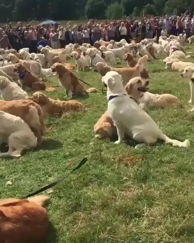 Watch and share Labrador Retrievers GIFs and Dogs GIFs by Raptor on Gfycat