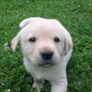 Labrador Puppy, Puppy, cute, cute dog, cutegif, dogs of instagram, dogs of tumblr, gif, golden lab, labrador, labrador retriever, pup, puppy fun, working dogs, yellow labrador, ShoddyHalfAnole GIFs
