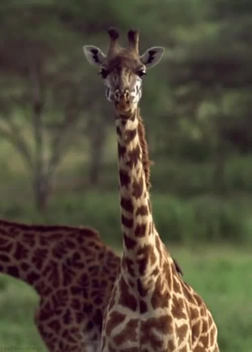 Watch and share Giraff GIFs on Gfycat