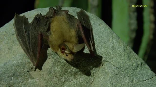 Watch and share Pallid Bat Kills A Scorpion GIFs by Pardusco on Gfycat