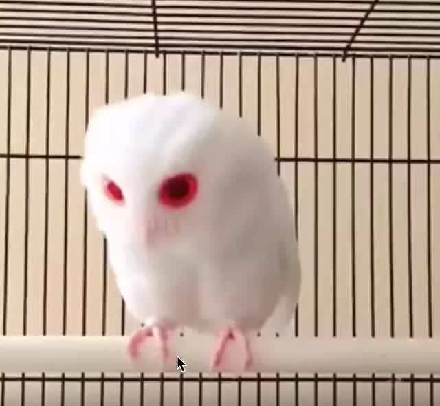 Watch Albino Owl (reddit) GIF on Gfycat. Discover more Albino Owl, Ometrist Approved GIFs on Gfycat