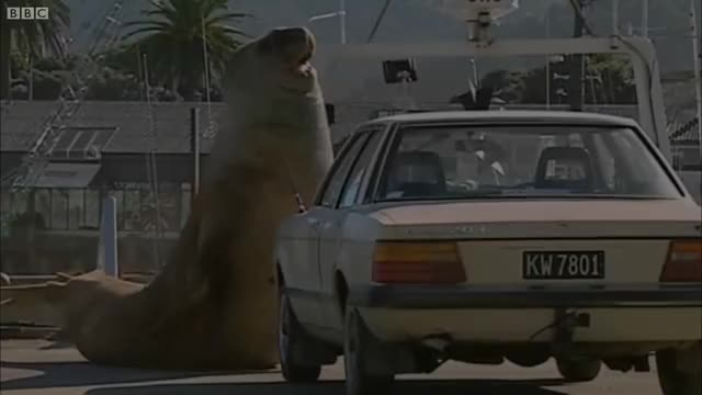 Watch Elephant seals vs vehicles GIF on Gfycat. Discover more Animals, BBC, BBC Worldwide, Elephant Seal, Fuck up car, Huge, Natural History, Nature, Steve Backshall, Super Giant Animals, Wild, Wildlife GIFs on Gfycat