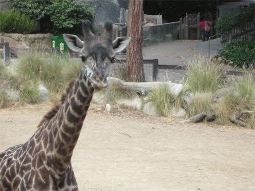 animal, animals, giraffe, baby giraffe GIFs