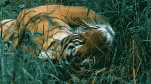 Watch and share Cool-gif-tiger-facts-grass GIFs on Gfycat